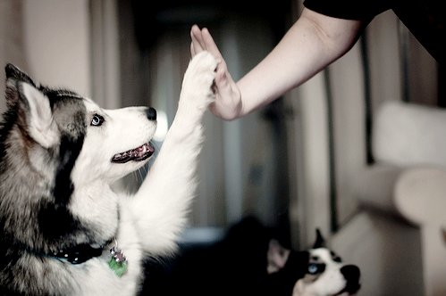 beautiful, cute, dog, eyes, friend, friends, hi5, husky, husky siberian, lovely, photography, siberian husky