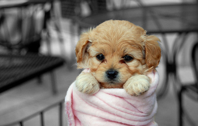 beautiful, cute, dog, girl, little, nice, pink, pretty, puppies, puppy, small
