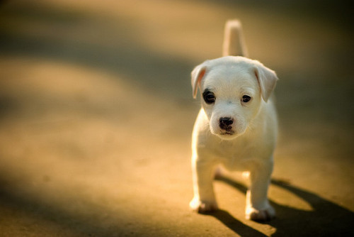 beautiful, cute, dog, omg, soo cute, white