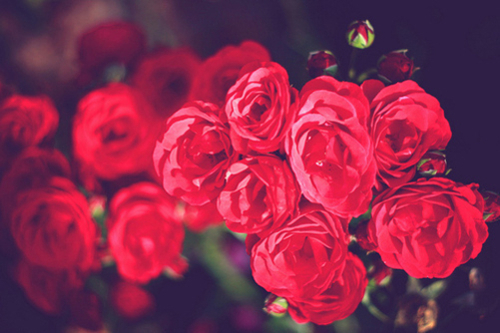 beautiful, cute, flower, flowers, lovely, pretty, red, romantic, rose, roses