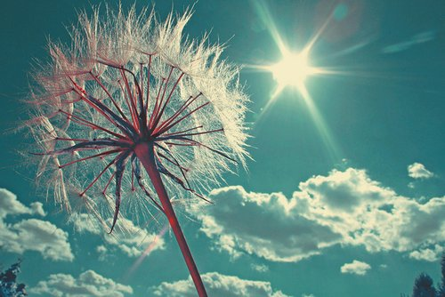 beautiful, dandelion, photography, sun