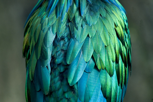 bird, birds, blue, feathers, green, parrot