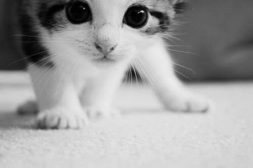 Black And White Cat Cute And Sweet Image 421284 On Favim Com