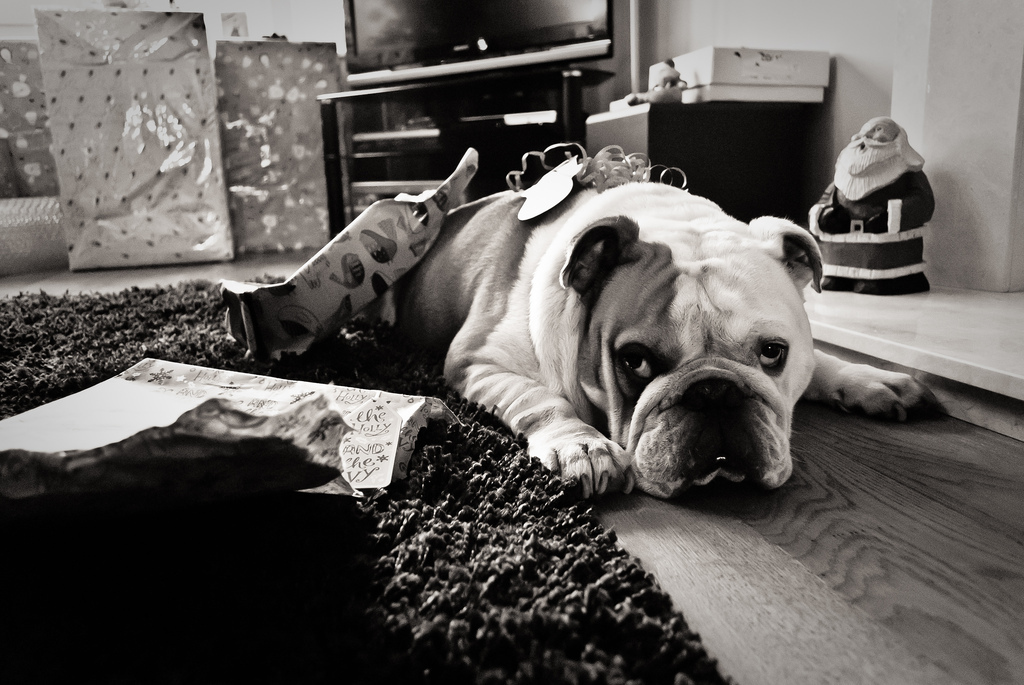 black and white, dog, english bulldog