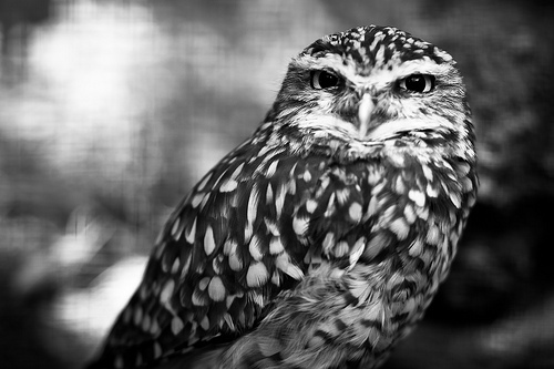 black and white, owl, owls