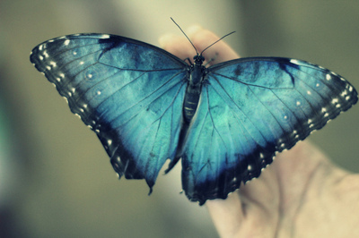 black, blue, butterfly, hand, nature, photography, white, wings