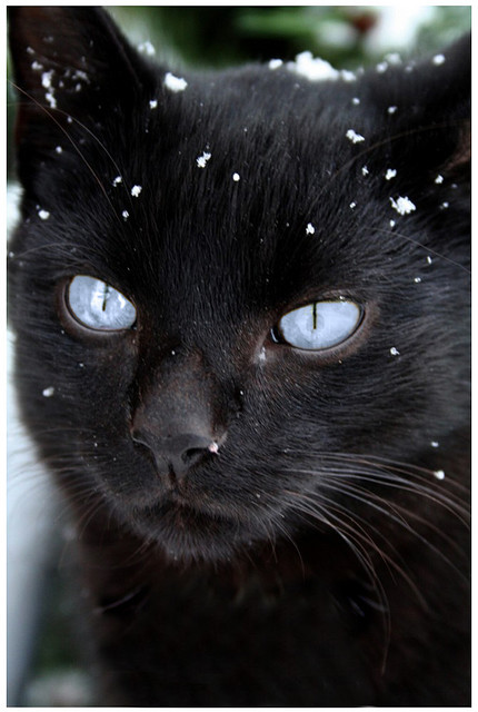 black, blue eyes, cat, cute, fiesty, snow