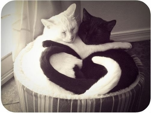 black, cats, cuddle, cute, heart, love, sleep, white