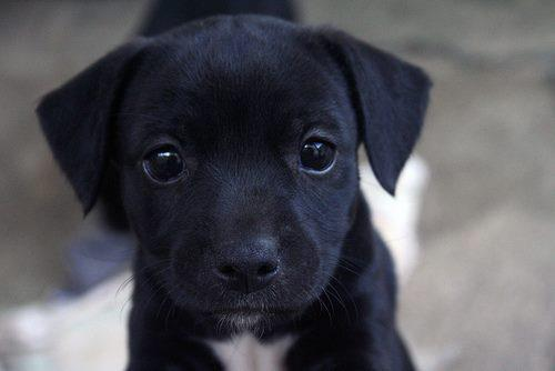 black, cute, puppy