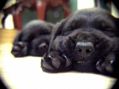 black lab, cute, dog, dogs, pets, puppies, puppy
