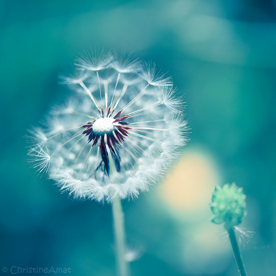 blanc, blue, dandelions, nature