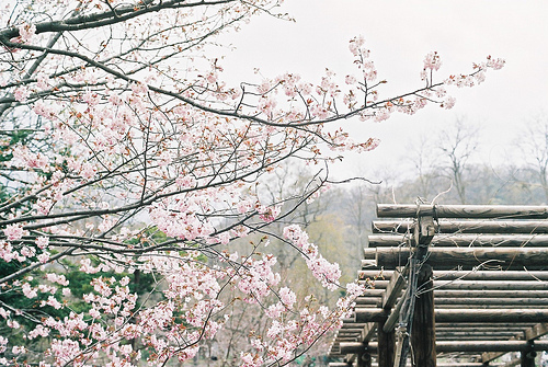 blossoms, cherry, flowers, green, nature, photography, pink, tree, white, wood