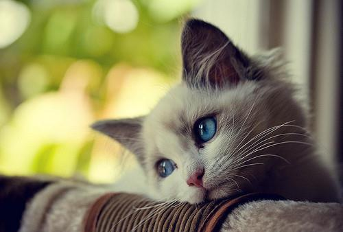 blue, cat, cute, eyes, kitten, pets, white
