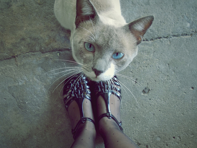 blue eyes, cat, cool, cute, fashion