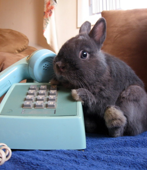 bunny, cute, telephone