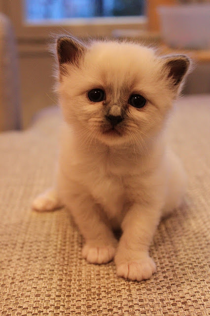 cat, cute, kitten, pet, sacred birman
