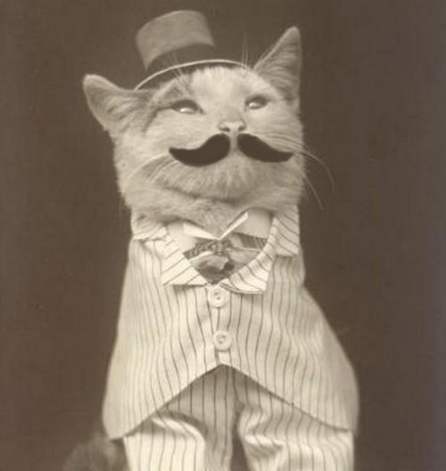 cat, handsome, mustache