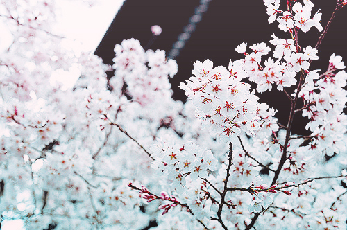 cherry blossoms, floral, flower, haru, japan