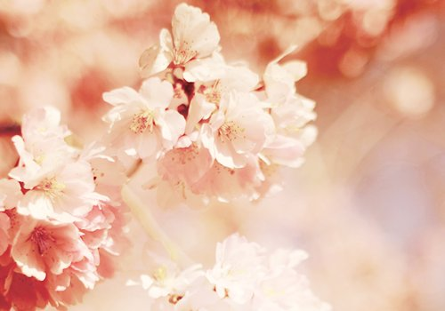 cherry blossoms, floral, flower, japan, japanese, nature