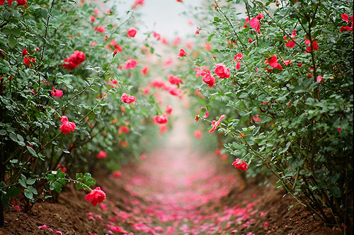 cute, dirt, distant, flowers, forgiving, leading away, path, pink, red