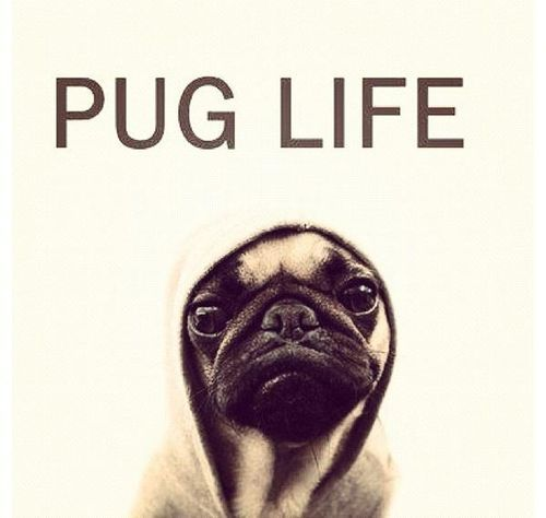 cute, dog, dogs, funny, gangster, lol, love, photography, pug, style, thug