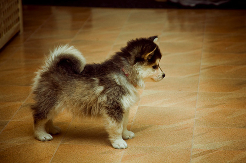 cute, dog, dogs, pomsky, puppies