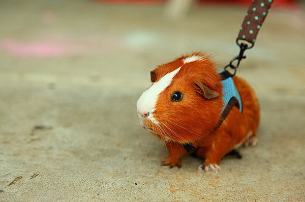 cute, hamster, this is a guinea pig