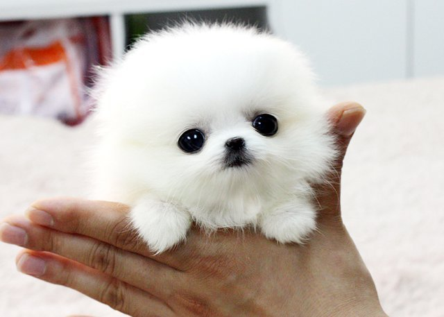 cute, kawaii, teacup, teacup dog, teacup pomeranian puppy - inspiring ...