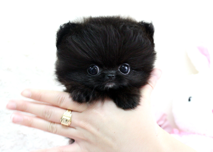 cute  kawaii  teacup  teacup pomeranian puppy - inspiring picture on    Cute Black Pomeranian Puppy Pictures