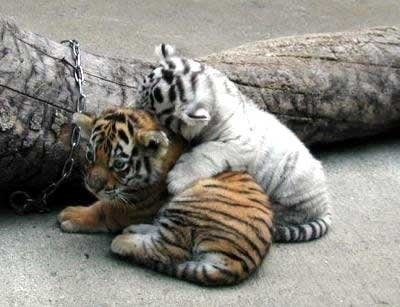 cute, love2, photography, tigers