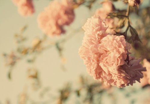 flowers, flpwers, lovely, pastel, pink