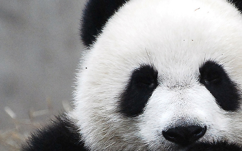 adorable, animal, black and white, hello there, panda, panda eyes