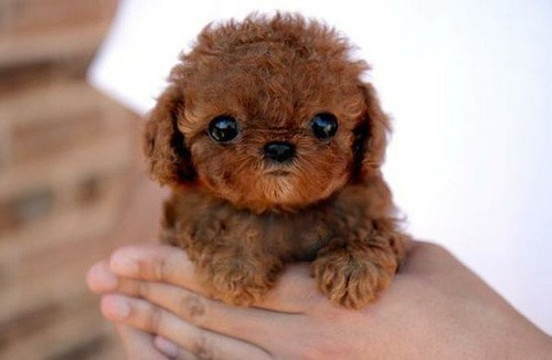 adorable, aww, cute, lovely, puppy