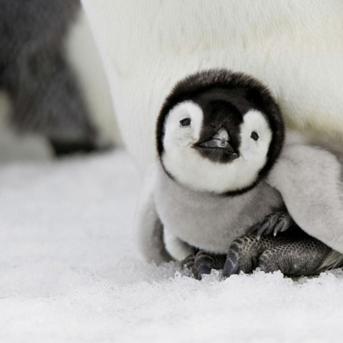 adorable, black and white, cute, lovely, nature, penguin