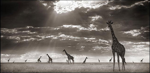 africa, amazing, animals, beautiful, black and white, giraffes, light, nick brandt, photography, sunlight