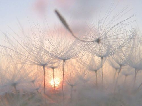 afternoon, beautiful, cute, dandelions, photography