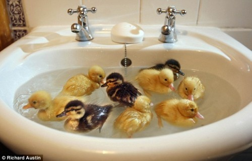 agua, animals, babies, birds, ducklings