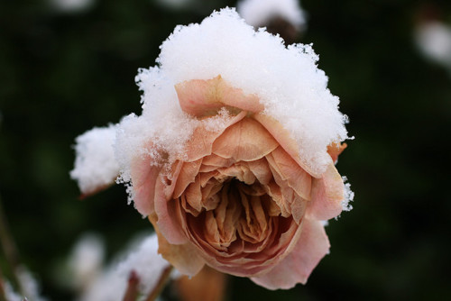 alone, amazing, art, awesome, black, broken, cold, cool, cute, dark, darkness, died, flower, loneliness, love, lovely, nature, photography, rose, sad, separated with a comma, separated with comma, snow, sweet