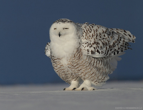amazing, animal, awesome, bird, blue, cold, sweet, lovely, separated with a comma, white, photography, cute, snow, separated with comma, sleep, owl, photo, ice