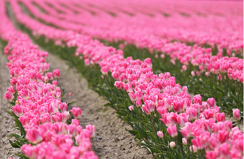 amazing, awesome, beautiful, beauty, bunch, field, flower, flowers, good, happy, lovely, nature, photography, pink, radaint, smell, smile, stunning, tulip, tulips, walk, wonderful