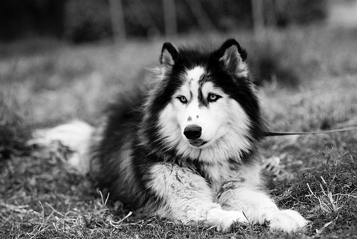 animal, b&w, beautiful, black, black & white, black and white, cute, dog, nature, photo, photography, white
