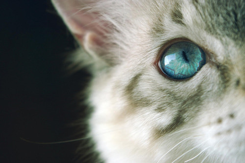 animal, blue, cat, cute, eye