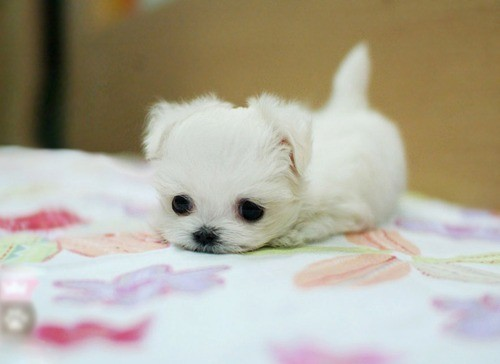 animal, cute, dog, puppy, white
