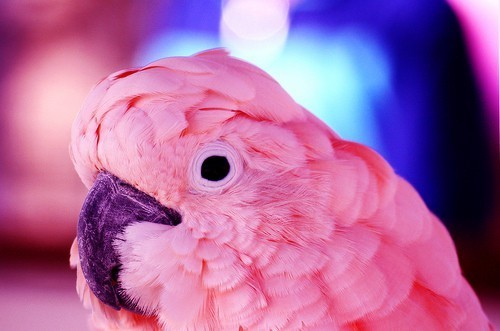 animal, cute, papagei, pink
