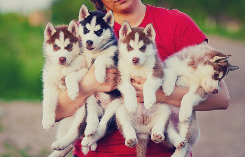 animal, dogs, puppy, siberian husky
