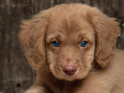 animals, blue eyes, cute, dog, dogs