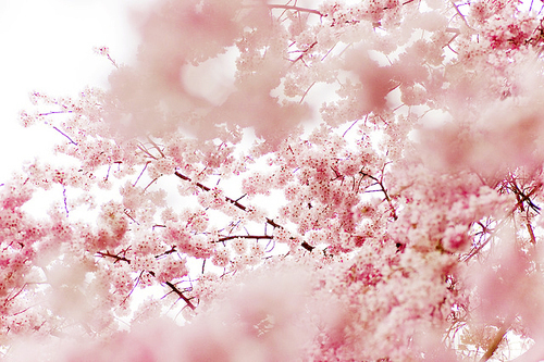 asian, beautiful, cherry, cherry blossom, cute