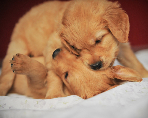 aww, brown, cute, dogs, omfg