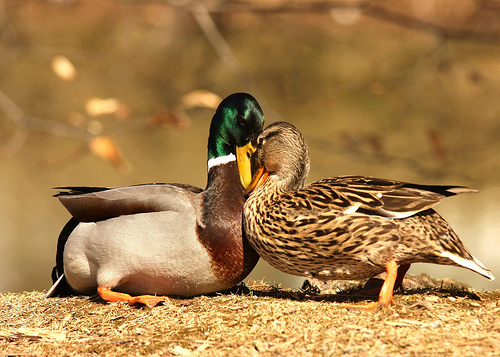 awww, couple, cute, ducks