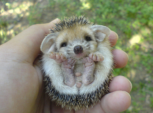 baby, cute, hedgehog, sweet